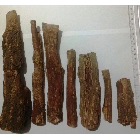 Kora Ketapangu około 10 - 15 cm długości