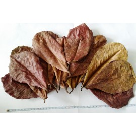 Liście ketapang - naturalny uzdatniacz