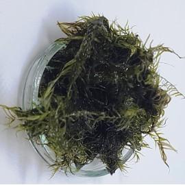 Phoenix Moss Mech - Fissidens fontanus